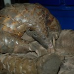 Meet the Species: Giant Ground Pangolin