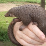 Meet the Species: Three-Cusped Pangolin