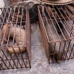 Malaysia: 46 Pangolins Seized by Authorities