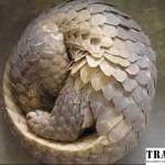 China: Five Pangolins Confiscated