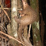 Thailand: 110 Pangolins Seized, Suspect Fined $75,000