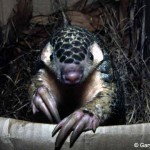 IUCN SSC Pangolin Specialist Group Launches New Website