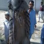 Pakistan: Dead Pangolin Sparks Outrageous Claims