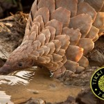 All 8 Pangolin Species Threatened with Extinction; 2 Species Now 'Critically Endangered'
