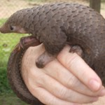 11 Things You Didn't Know About Pangolins